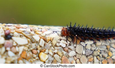 Colorful Barbed Butterfly Caterpillar Creeping along the...