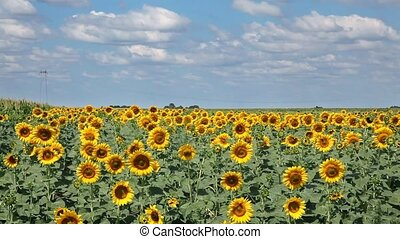 Sunflower field with sky and clouds