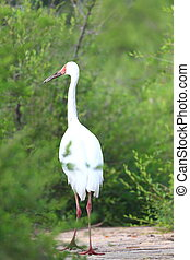 Siberian Crane Grus leucogeranus in North China
