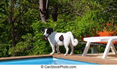 Cute Funny Dog Walking along the Swimming Pool. Sunny Summer Day. Picturesque Poolside.
