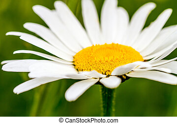 Oxeye Daisies Growing in Meadow - Close up of oxeye daisy...