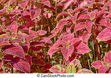 group of coleus in garden - close-up of colorful coleus...