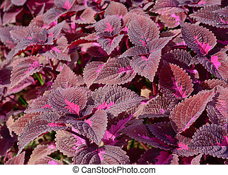 group of dard violet coleus in garden - close-up of dark...