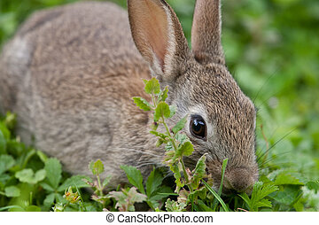 Young wild Rabbit in the English countryside