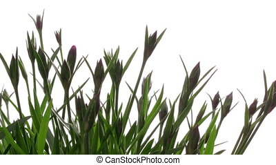 Purple Flower Timelapse