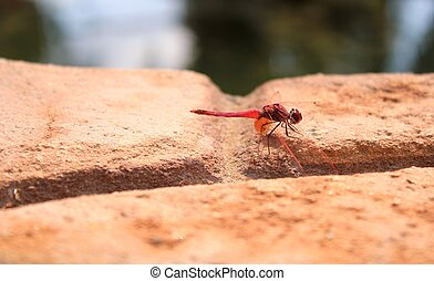 Fiery Red Dragonfly