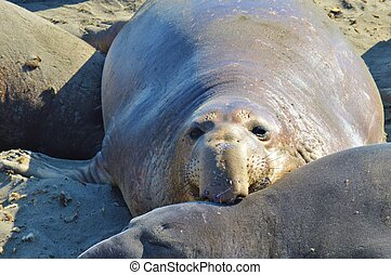 Elephant Seal - Elephant seal on California beach