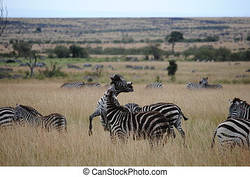 Two Zebras Fighting