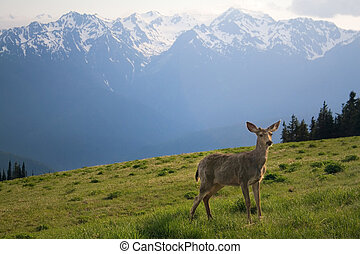 Young Buck and Mt Olympus Peaks at Hurricane Ridge - A young...