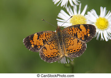 Pearly Crescentspot (Phyciodes tharos) on Ox-eye Daisy -...