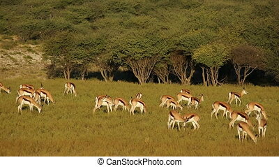 Grazing springbok antelopes - Herd of springbok antelopes...
