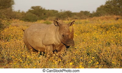 White rhinoceros and calf - White (square-lipped) rhinoceros...