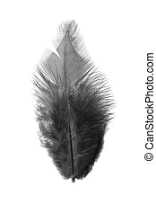 Black feather on a white background