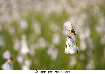 Cottongrass field in the spring.