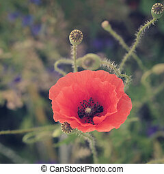 Poppy Flowers - Field with blooming Poppy Flowers in summer...