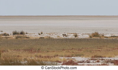 Female lion walking in salt pan - Isolated female lion...