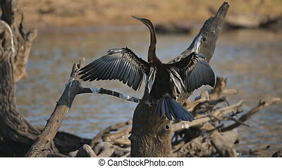 African Darter drying - Rear view of African Darter Anhinga...