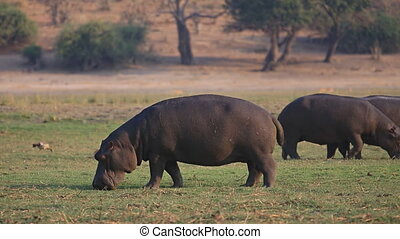 Hippopotamus group - Hippopotamus Amphibius group grazing in...