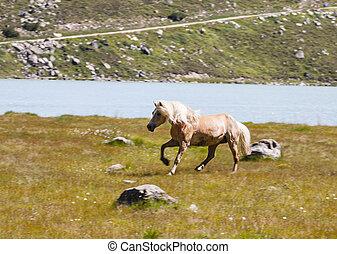 Haflinger Horse in Austria - Haflinger Horse in the Pitztal...