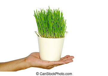 Wheat grass - Fresh Wheat Grass for Juicing