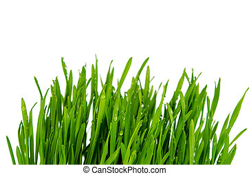 Wheatgrass isolated - fresh green wheatgrass isolated on...