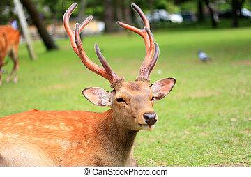 Sika Deer (Cervus nippon) in Japan