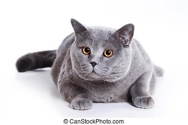 english cat with big orange eyes - cats_black_fat_fear