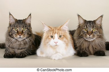 cats maine coon - cats_maine_coon_three_beautiful_fluffy
