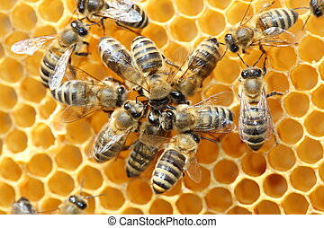bee dance - Bees inside a beehive with some dancing bees