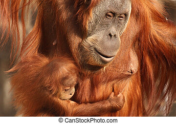 mother orangutan with her cute baby - mother orangutan with...