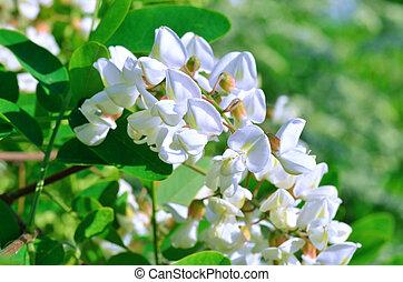 blanco, flores,  Acacia