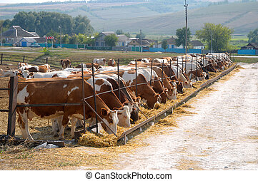 cows eating hay - brown-white cows eating hay on open air...