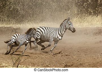 Two zebras gallopping - A baby and a mother common zebras...