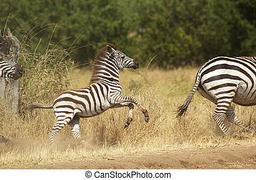 A young zebra gallopping - A young common zebra (Equus...