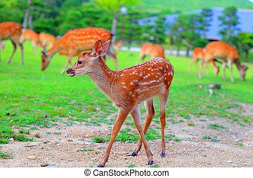 Sika Deer fawan - Sika Deer (Cervus nippon) fawn in Japan
