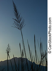 wild grass at mountian background