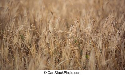 Landscape shot of cultivated wheat - Panning landscape shot...