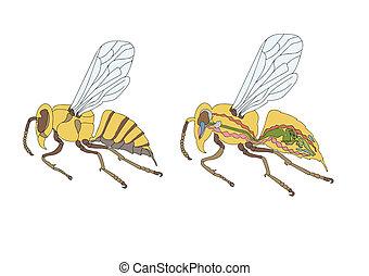 bee - zoology, anatomy, morphology, cross-section of bee