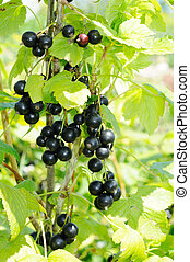 branch of black currant in sunlight growing