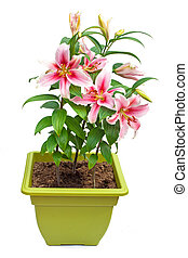 white lily flowers in the pot isolated image