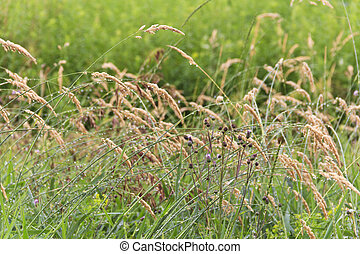 Closeup Field Weeds - Natural field and meadow weeds