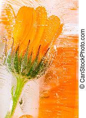 Nagietek, kwiat, Mrożony, Lód