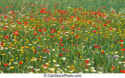 Poppy and white daisy field - Wild red poppy and white daisy...