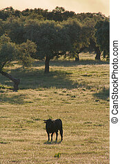 Fighting Bulls breed free-range - Spanish free range...