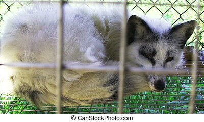 Young fox lying in the cage - Young fox lying