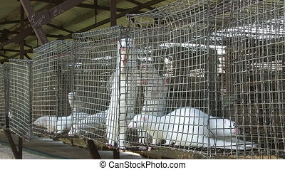 Minks in the cage