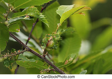 chestnut gall wasp, scourge of chestnut trees - the chestnut...