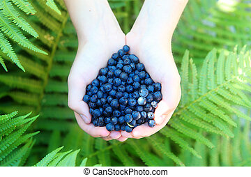 boy with handful of freshly picked organic blueberries