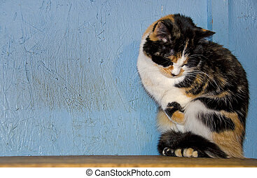 shy calico cat - Shy calico cat on a wooden shelf.