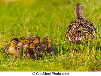 Mallard Ducklings sitting in front of their mother in the...